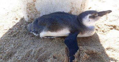 Pinguim-de-Magalhaes