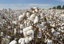 Tecnologias da Embrapa ajudam Ceará a dobrar produção de algodão