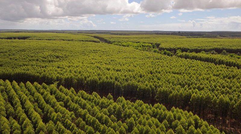 Suzano Plantio de Eucalipto