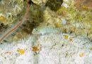 Cientistas descobrem 4 novas espécies de peixes em Fernando de Noronha