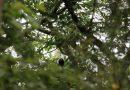 Sagui-da-serra-escuro é identificado no Parque das Neblinas
