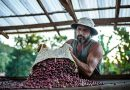 Maior produtor de café do mundo: Brasil possui 12 indicações geográficas do grão