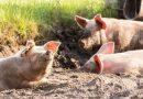 Cargill Nutrição Animal apresenta nova plataforma Livelle EXP com soluções para suinocultores